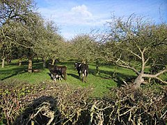 Cows in Orchard - geograph.org.uk - 94917.jpg